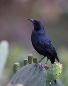 Scrub Blackbird, Lomas de Lachya National Preserve, Peru