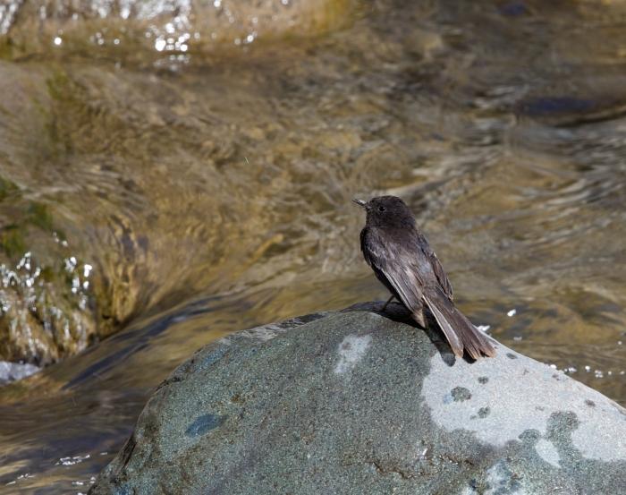 Black Phoebe, Sanata Eulalia River, Peru