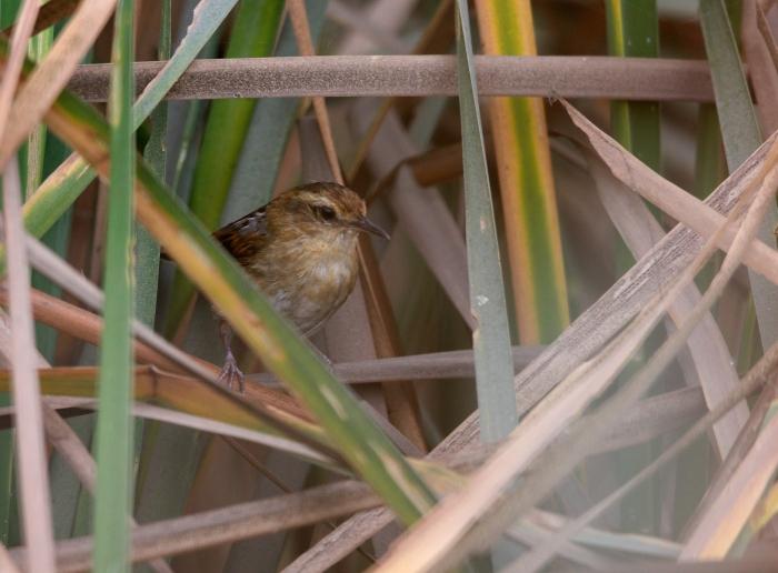 Wren-like Rushbird, Bentanalla Preserve, Lima