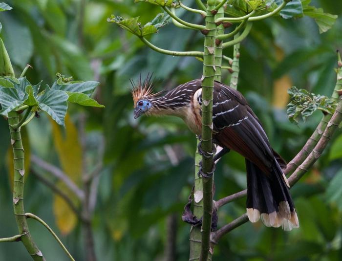 Hoatzin, Puerto Maldanado, Amazonian Peru