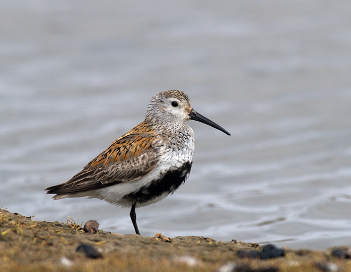 Dunlin, Old Chevak, Yukon Delta