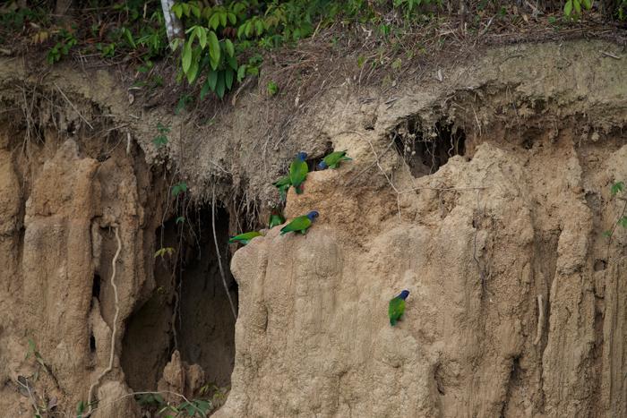Blue-headed parrots on a clay lick, Peruvian Amazon.