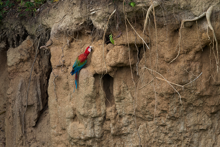 A pioneer among Red and Green Macaws