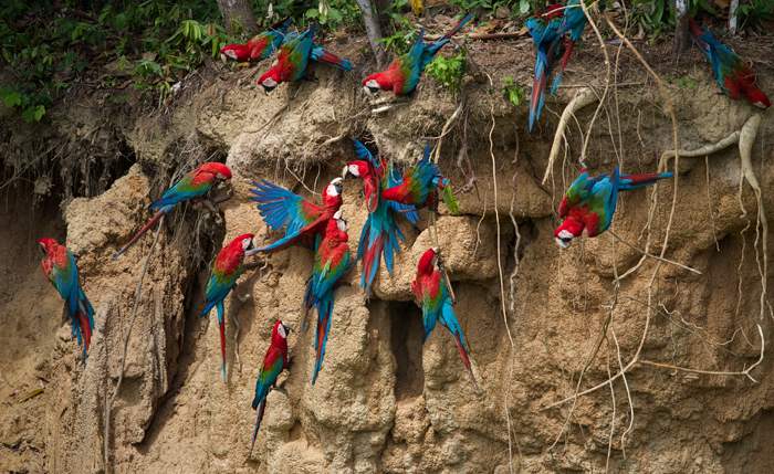 A cacophony of Red and Green Macaws