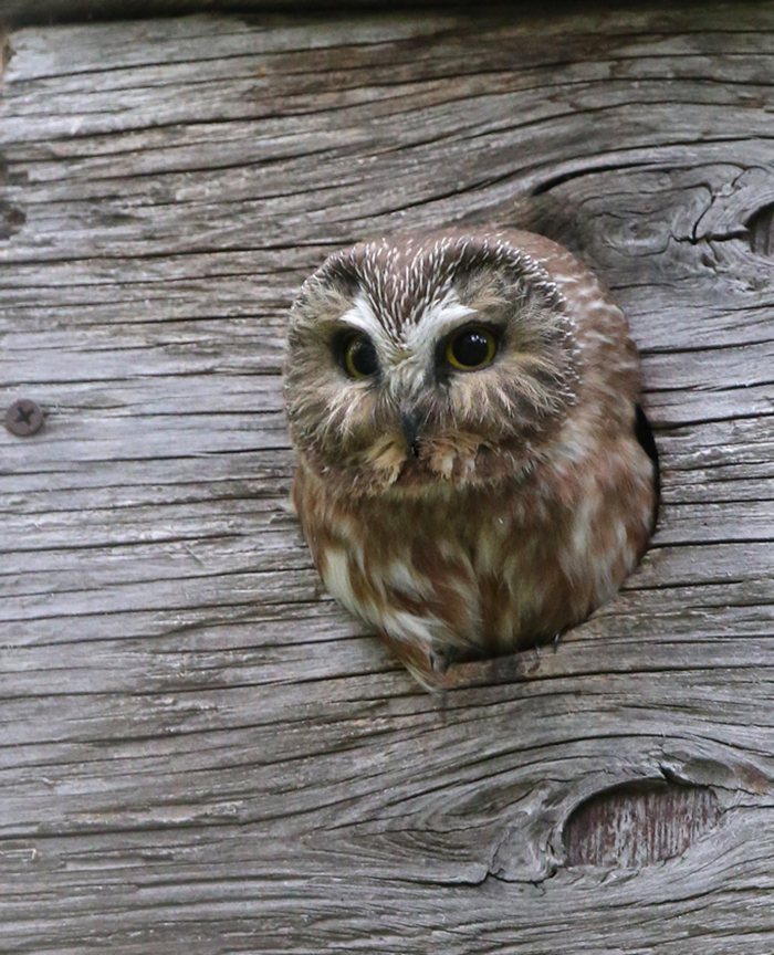 Northern Saw-Whet Owl, Eagle River, Alaska