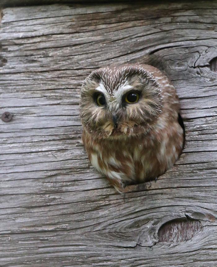 Northern Saw-Whet Owl, Eagle River, Alaska