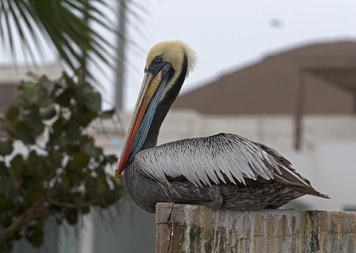 Peruvian Pelican, Pucusana, Peru