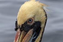 Close-up of Peruvian Pelican, Pucasana Harbor, Peru