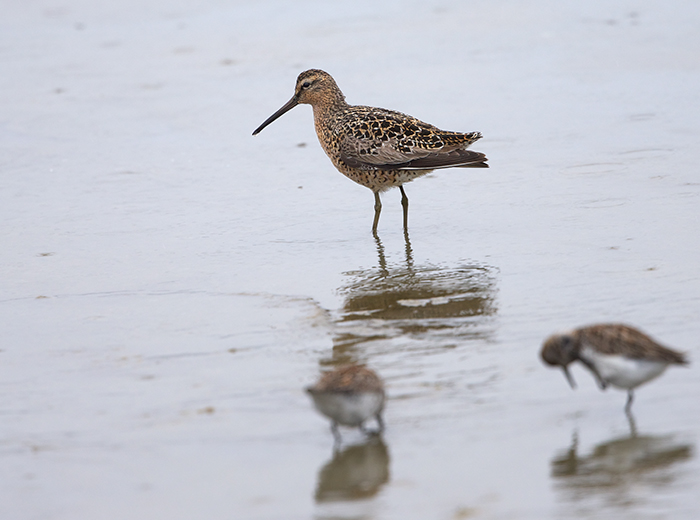 Short-billed Dowitcher, Hartney Bay, Cordova, shown slumming with Sanderlings