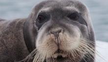 Bearded Seal (Photo One World Ocean)