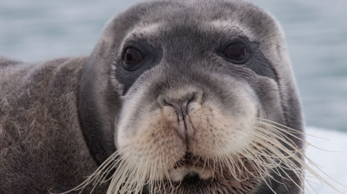 Bearded Seal (Photo One World Ocean)
