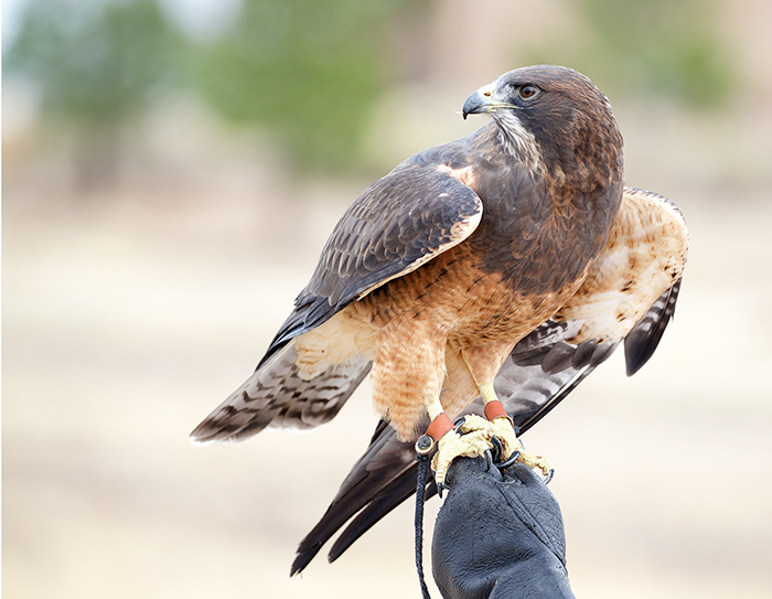 Harris's Hawk, The Peregrine Fund Flight Show, October 2016