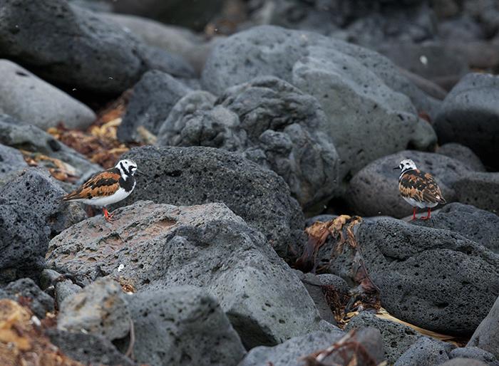 Ruddy Turnstones in full breeding plumage, St. Paul Island, Pribilof Islands, Alaska