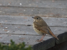 Hermit Thrush, Creamer's Refuge, Fairbanks