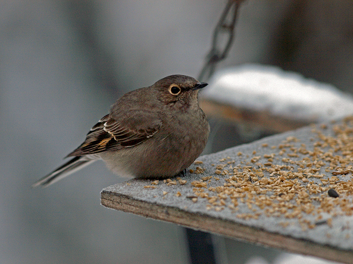 Townsend's Solitaire, Fairbanks