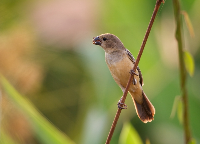 Dull-colored Seedeater, Pantanal, Brazil
