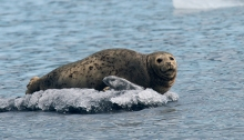 Harbor Seal. Lake Iliamna, Alaska