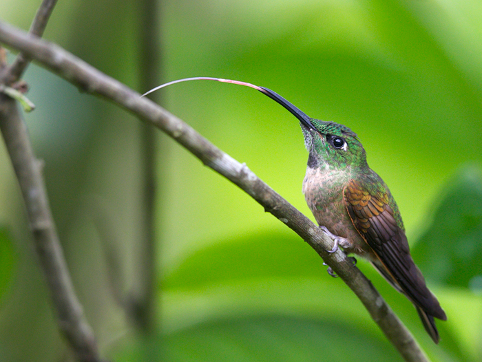 Fawn-breasted Brilliant, showing the amazing hummingbird tongue