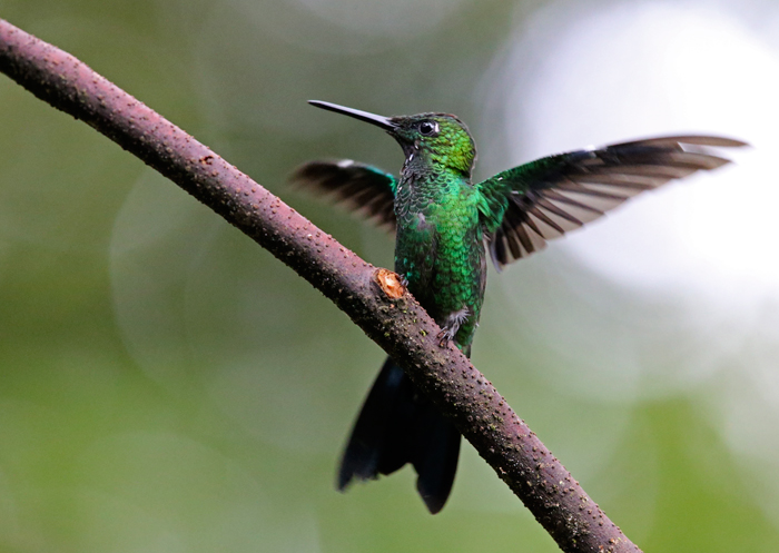 Green-crowned Brilliant, making a dominance display to another male