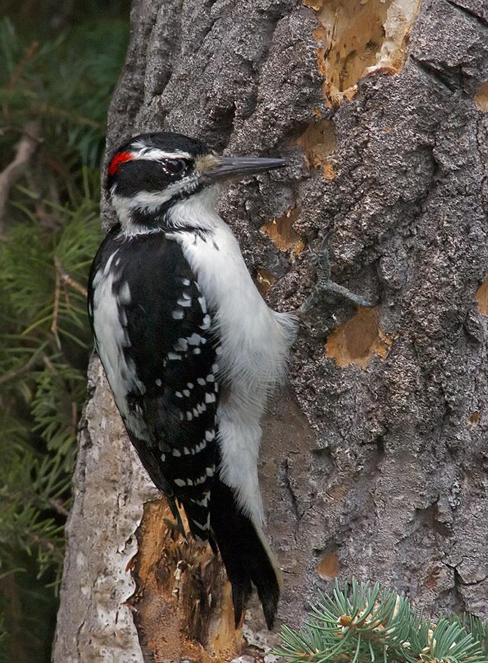 Male Hairy Woodpecker, Fairbanks