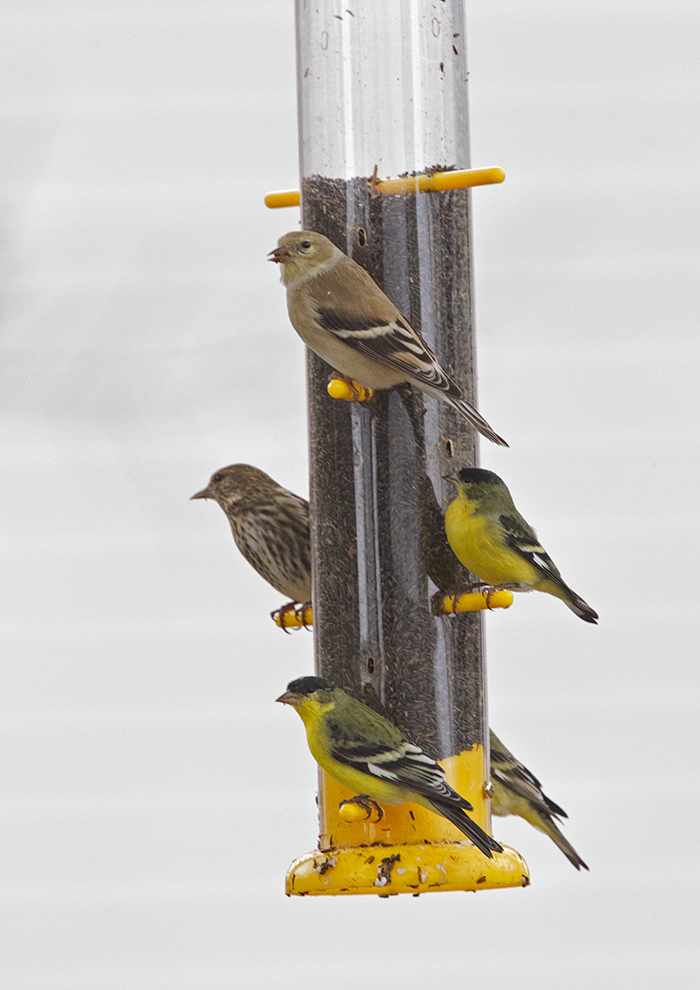 Lesser Goldfinches and House Finch