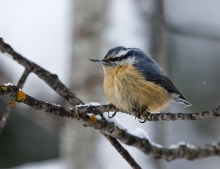 Red-breasted Nuthatch, Fairbanks