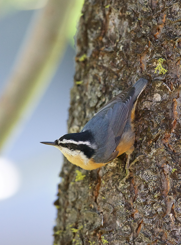 Red-breasted Nuthatch, Juneau