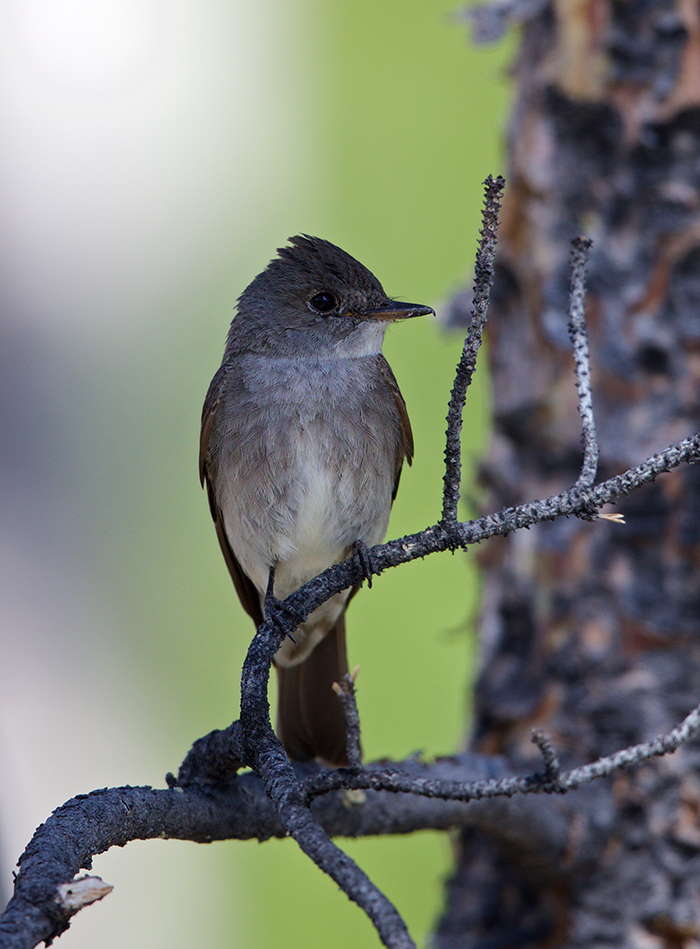 Western Wood-Pewee, Farmer's Loop Road, Fairbanks