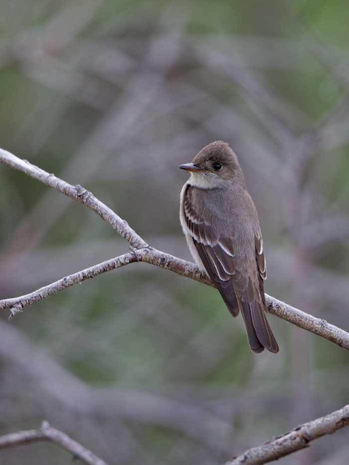 Western Wood-Pewee,Creamer's Refuge, Fairbanks