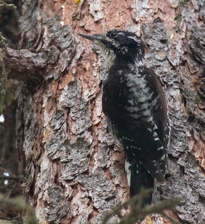 American Three-toed Woodpecker, Upper Chena River Valley