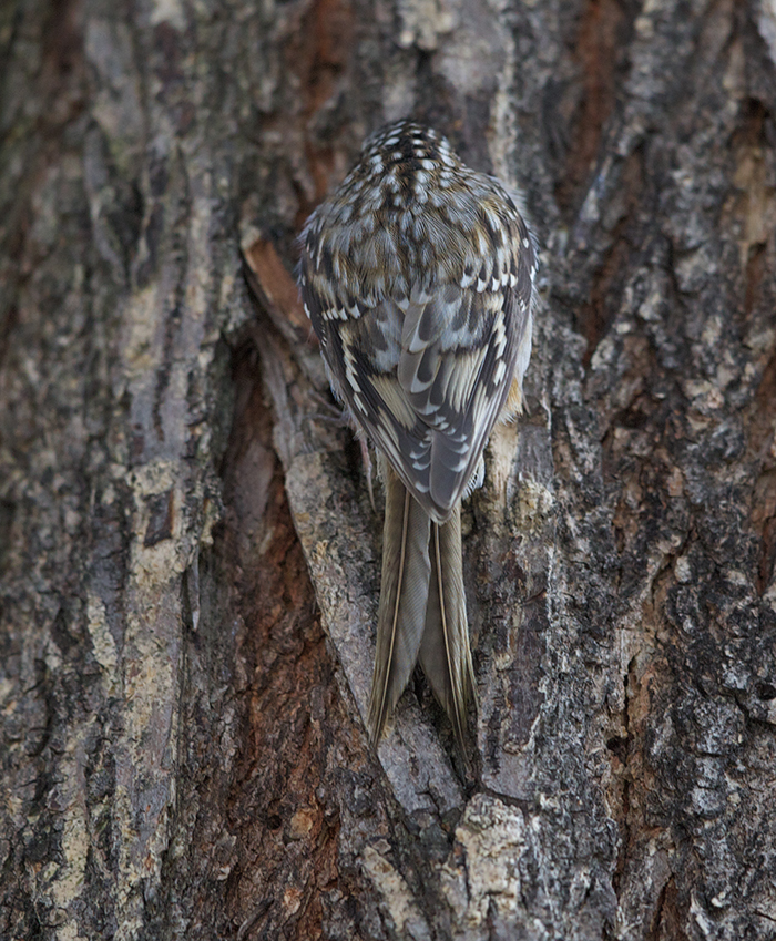 Brown Creeper Back, Showing Cryptic Markings