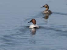 Canvasback, Airport Ponds, Fairbanks