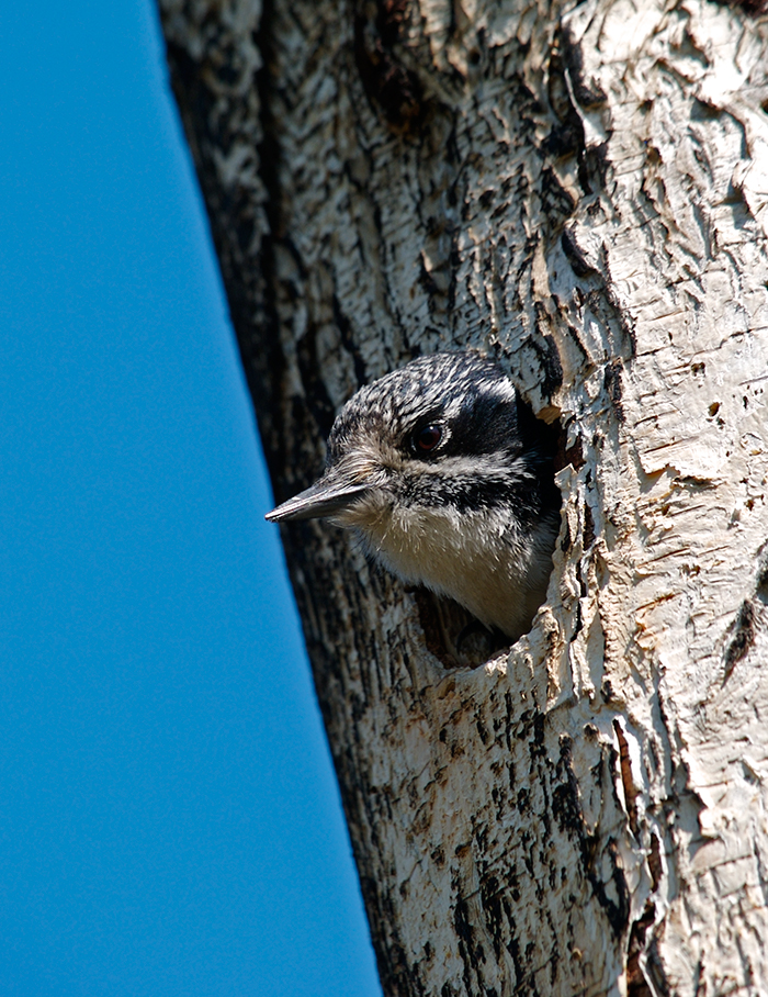 Downy Woodpecker Female, Fairbanks; photo by Mrs. WC