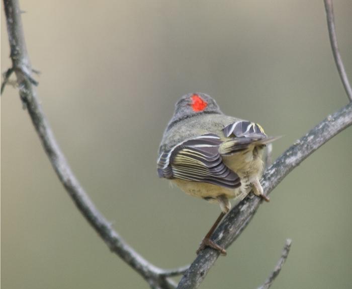 Ruby-crowned Kinglet, Creamer's Refuge, Fairbanks