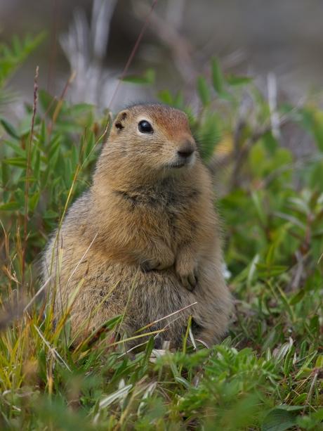 Arctic Ground Squirrel, Denali National Park