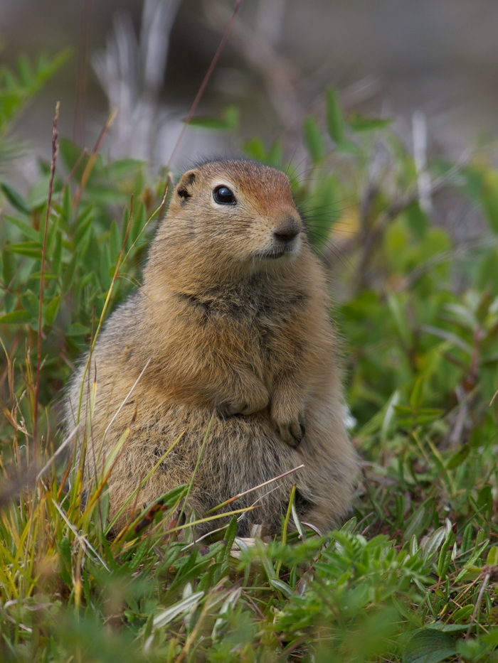 Arctic Ground Squirrel, Denali National Park
