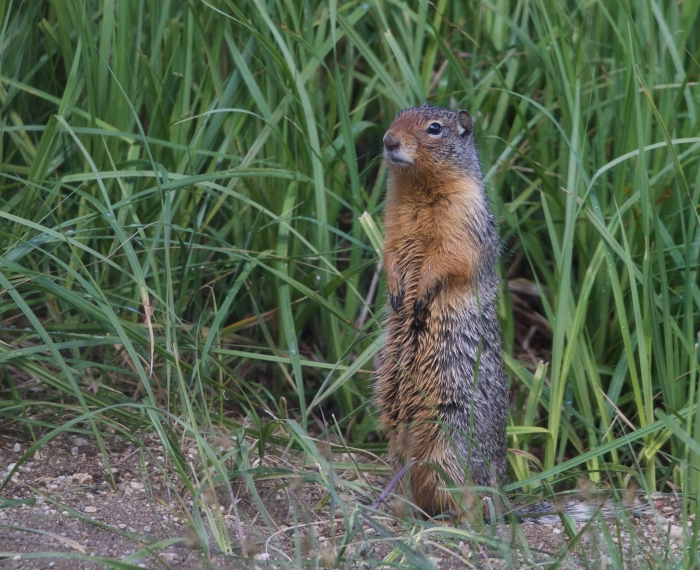 Idaho Ground Squirrel, Weiser, Idaho