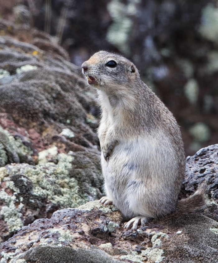 Piute Ground Squirrel, Morley Nelson Birds of Prey Conservation Area
