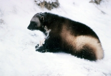 Wolverine, National Park Service Photo
