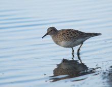 Baird's Sandpiper, Tanana Lakes, Fairbanks