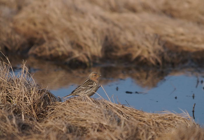 Red-throated Pipit, Gambell, St. Lawrence Island, Alaska