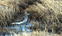 Wood Sandpiper, Gambell, St. Lawrence Island
