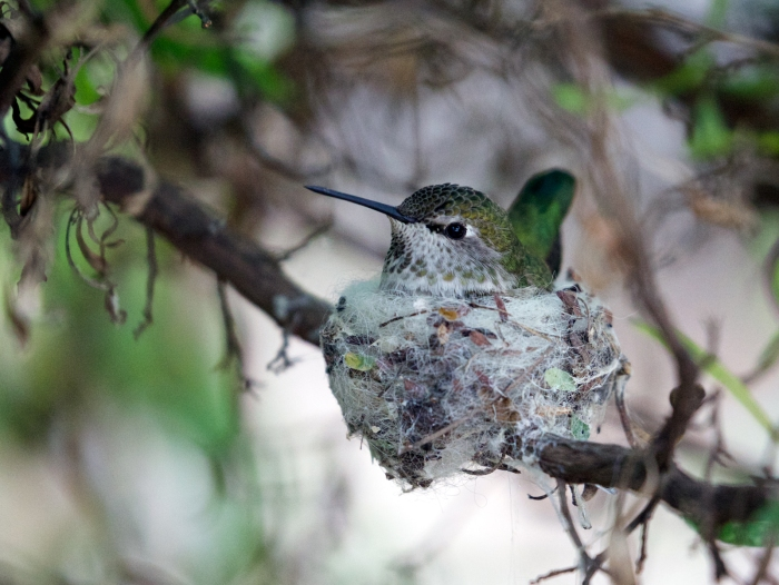 Anna's Hummingbird Female on Nest, Sonora Desert Museum, Tucson, Arizona
