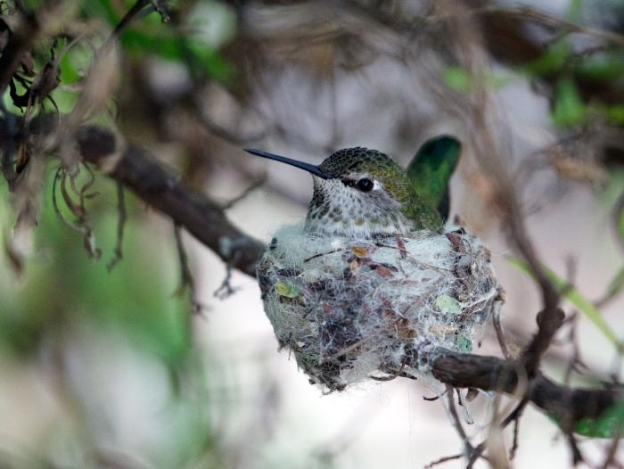 Anna's Hummingbird Female on Nest, Sonora Desert Museum, Tucson, Arizona