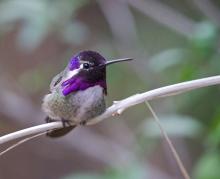 Anna's Hummingbird Male, Sonora Desert Museum, Tucson, Arizona
