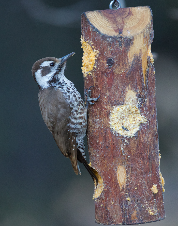 Arizona Woodpecker, Santa Rita Lodge. Madera Canyon, Arizona