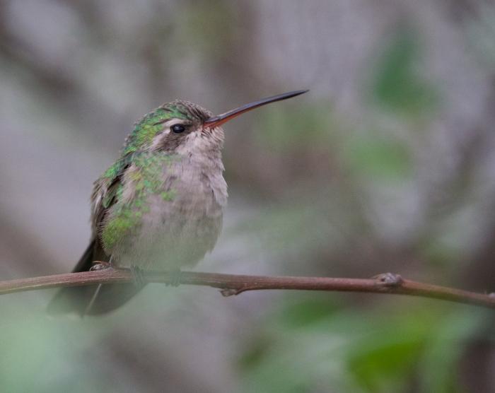 Broad-billed Hummingbird Female, Sonora Desert Museum, Tucson, Arizona