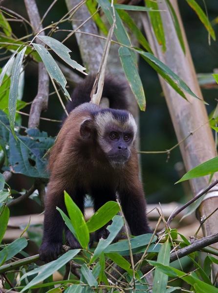 Capuchin1