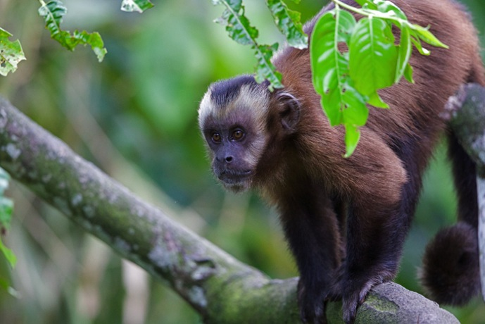 Capuchin2