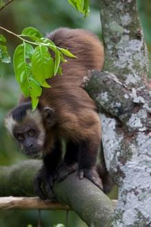 Capuchin3.jpg